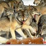 meute loup 1